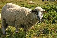 Sheep. In green and yellow fields in the mountains royalty free stock images