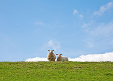 Sheep. This image shows a portrait from two sheep stock images