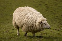 Sheep. A sheep in the peaks district, UK royalty free stock photography