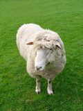 Sheep. Wooly Sweep royalty free stock photos