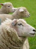 Sheep. And lambs stock photos