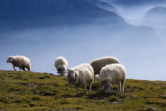 Sheep. A little flock of sheep in mountain landscape Stock Images
