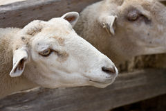 Sheep. Heads sticking through fence on a farm stock images