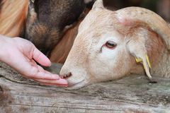 Sheep. A Sheep and hand of woman royalty free stock images