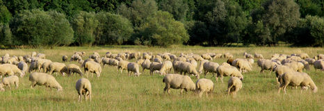 Sheep. Flock of sheep on a meadow Royalty Free Stock Photo