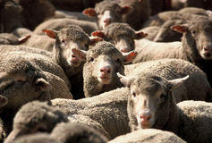 Sheep. Flock of Sheep Royalty Free Stock Photos