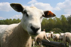 Sheep. A sheep and its herd royalty free stock photography