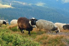 Sheep. Herd of sheep in mountains Carpathians, Ukraine Stock Photo