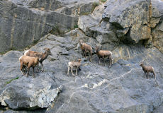 Sheep. On the rocks, near Jasper, Canada Royalty Free Stock Images