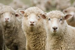Free Sheep Royalty Free Stock Photography - 1288257
