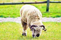Sheep. Grazing on pasture on a sunny day royalty free stock photos
