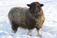 Sheep. A horizontal picture of a gray and black woolly Romney sheep with a smiling expression on its face as she stands in the snow royalty free stock image