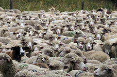 Sheep. A flock of sheep waiting to be sorted Royalty Free Stock Photography