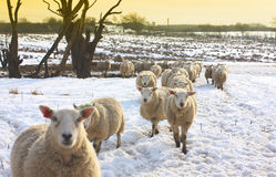 Sheep. In winter time, Scotland Stock Photo