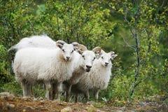 Free Sheep Royalty Free Stock Photo - 13405455