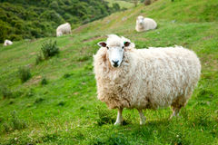 Sheep. At a pasture in New Zealand Royalty Free Stock Photo