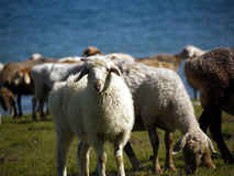 Sheep. Innocent looking sheep looking curiously at you stock photo