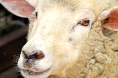 Sheep. One tamed sheep on a very close up profile Stock Image
