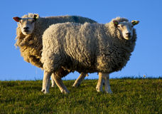 Sheep. In the eveninglight on texel, the netherlands Royalty Free Stock Photos