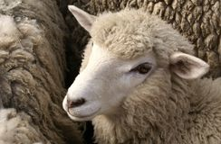 Sheep. S in a Farm Range in Patagonia Royalty Free Stock Images