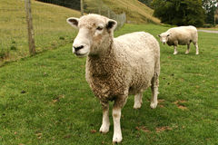 Sheep. Cute lambs at Agrodome(NZ farming),North Island of New Zealand stock photos
