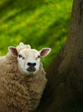 A Sheep. Stood near a tree with a green grass background stock images