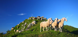 Sheep. Herd of sheep in the mountains on a grassy terrain Stock Image