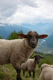 Sheep. On the landscape taken in Italy Royalty Free Stock Photography