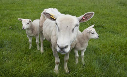 Sheep Royalty Free Stock Photos