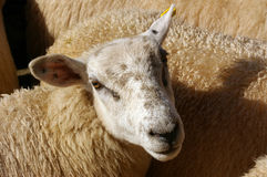 Sheep 15. A sheep in a pen with other sheep ready for sale Stock Photo