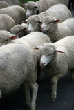 Sheep. Sheep pushing each other on a walk between pastures Stock Photos