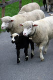 Sheep. Sheep pushing each other on a walk between pastures Royalty Free Stock Photo