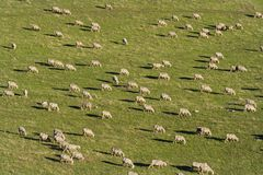 Sheep. A group of sheeps passing over the green field Stock Photos