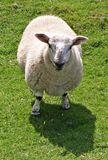 Sheep. An adult wool sheep staring at camera on a field Royalty Free Stock Images