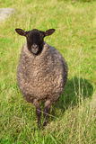 Sheep. Grey sheep in the field royalty free stock photos