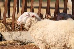 Sheep. Eating hay in barnyard Stock Photo
