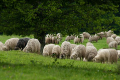 Sheep. Grazing in a mountain green field Stock Photography