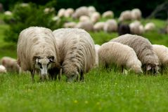 Sheep. Grazing in a mountain green field Royalty Free Stock Photography