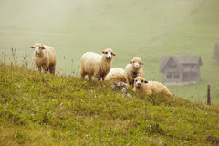 Free Sheep Stock Photography - 15759522