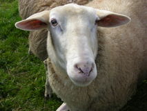 Sheep. A sheep looking in the camera Royalty Free Stock Images