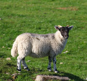 Sheep. Lone sheep standing in field of grass Royalty Free Stock Images