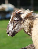 Sheep. A close up portrait of a sheep Royalty Free Stock Photography