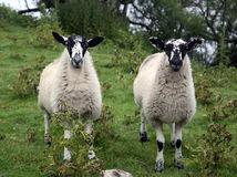 Sheep. Yorkshire Dales Northern England Stock Photo