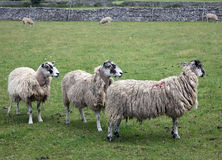 Sheep. Yorkshire Dales Northern England Stock Photography