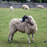 Sheep. Yorkshire Dales Northern England Royalty Free Stock Photography