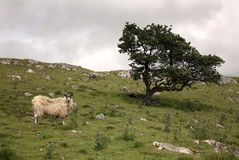 Sheep. Yorkshire Dales Northern England Royalty Free Stock Photos