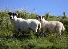 Sheep. Scotland Islay two sheep in summer Royalty Free Stock Photo