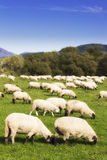 Sheep. Herd of white sheep graze on grass Royalty Free Stock Images