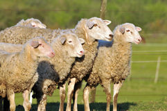 Sheep. Group of sheep in farm Royalty Free Stock Photo