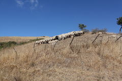 Sheep. Natural landscape in warm earth, Sicily Italy Royalty Free Stock Image